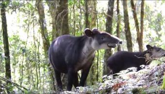 reportan avistamiento tapir su cria biosfera el triunfo chiapas