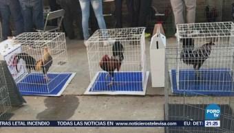Aseguran 60 gallos de pelea y detienen a 21 personas en León,Guanajuato
