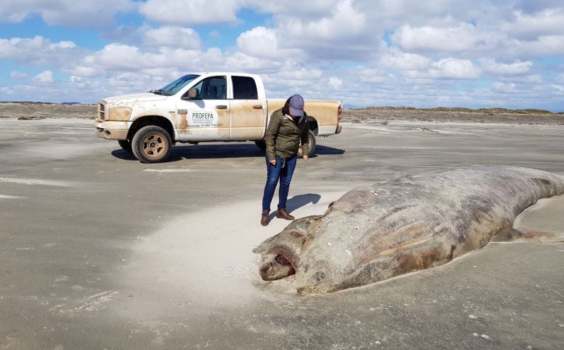 Atiende Profepa varamiento de ballena gris muerta en playas de Ensenada