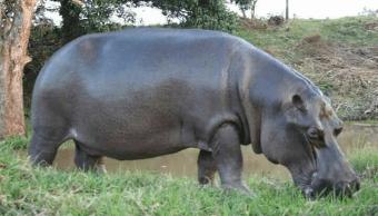 Hipopótamo 'Tyson', que deambulaba en Las Choapas