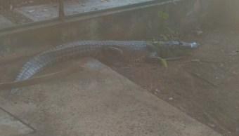 Biosfera de los Petenes, santuario para el cocodrilo