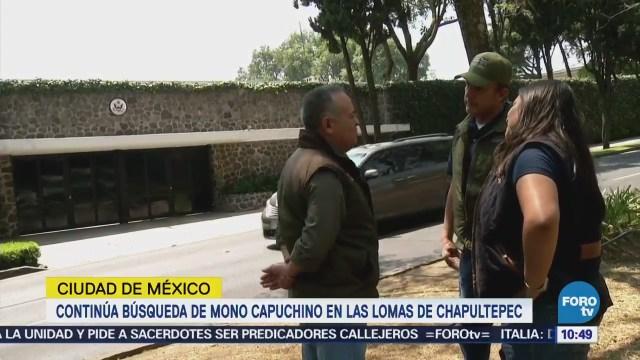 Continúa búsqueda del mono capuchino en Lomas de Chapultepec