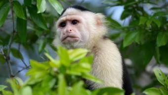 Mejora salud de mono capuchino capturado en Lomas de Chapultepec