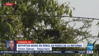 Continúan labores para rescatar mono en Paseo de la Reforma, CDMX