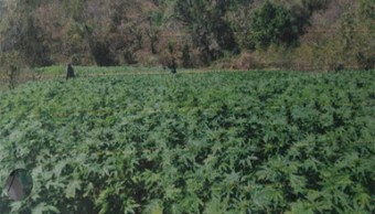 destruyen plantíos de marihuana en tequila jalisco