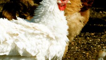 México confirma dos brotes de influenza aviar H7N3, altamente patógena