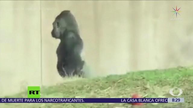 Gorila sorprende a cuidadores por su forma de caminar