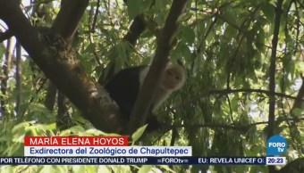 Intentan rescatar a mono capuchino en la CDMX
