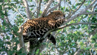 detectan aumento jaguares biosfera los petenes campeche