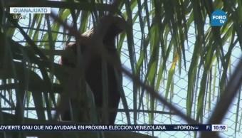 Logran Reproducción Águila Real Zoológico León