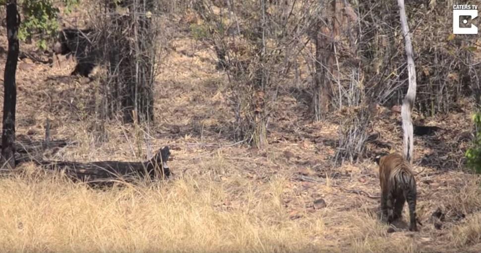 oso-pelea-brutalmente-tigre-video-protegiendo-cachorro-india