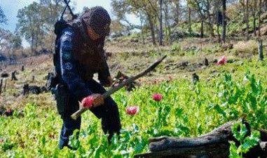 Policía Federal destruye 12 plantíos de amapola en Leonardo Bravo