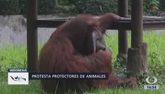 Polémica por orangután fumando un cigarrillo