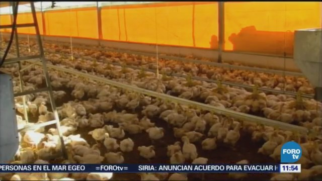 Registran dos brotes de influenza aviar altamente patógena en México