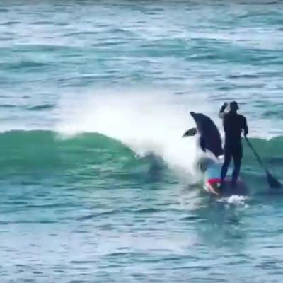 Video: Surfista es derribado por un delfin que iba nadando en cardumen.