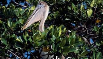 por cambio climatico aves migratorias modifican zonas anidacion los petenes