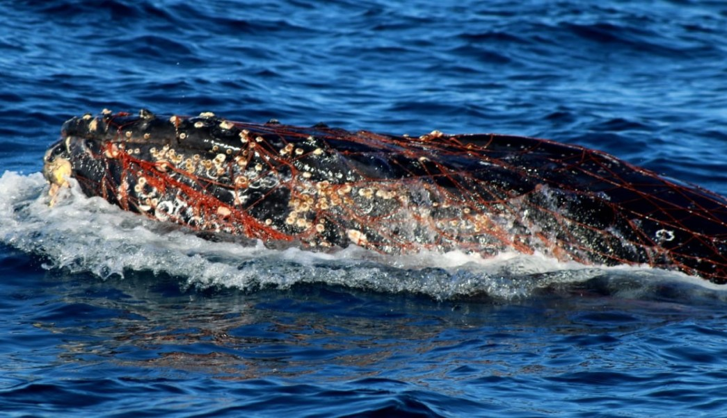 profepa atiende ballena gris atrapada red bcs