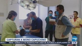 Capturan Mono Capuchino Deambulaba Lomas Chapultepec