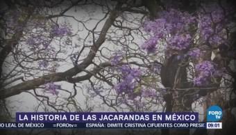 ¿Cómo surgen las jacarandas en México?