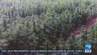 Destruyen Más 800 Mil Plantas Marihuana Jalisco