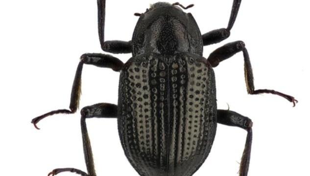 Nueva especie de escarabajo es nombrada Leonardo DiCaprio