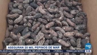Extra Extra: Aseguran 20 mil pepinos de mar
