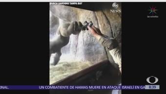 Gorila imita lo que hacen sus cuidadores