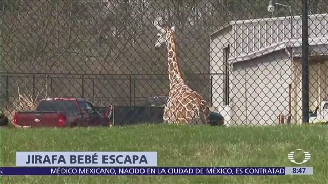 Jirafa bebé escapa de zoológico en Indiana
