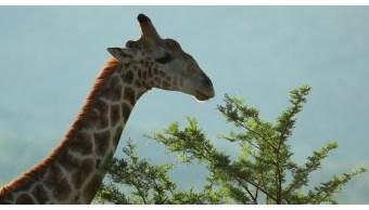 Jirafas en peligro de extinción