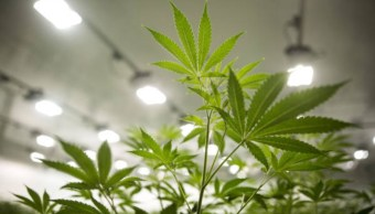 Uso de marihuana recreativa en México requerirá de nuevo permiso Cofepris