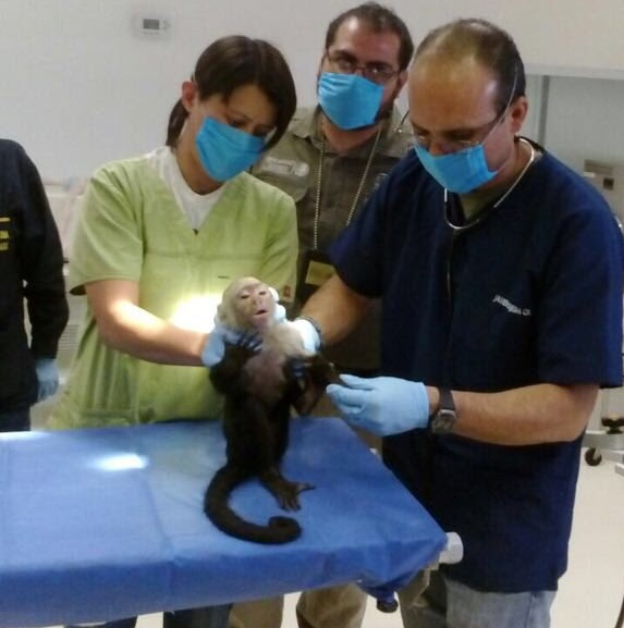 Mono capuchino estará en cuarentena en el Zoológico de Chapultepec