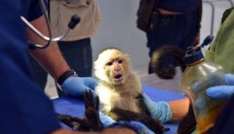 Investigan de dónde escapó el mono capuchino capturado en Lomas de Chapultepec