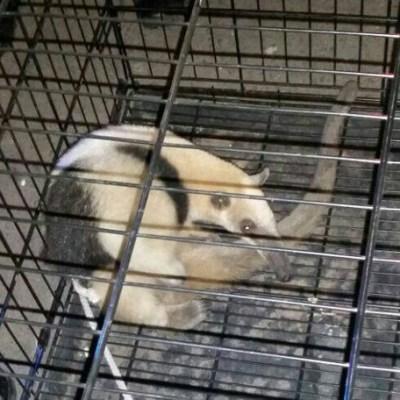 Rescatan a oso hormiguero en colonia Morelos de la CDMX