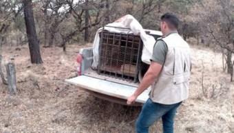 Profepa rescata puma que atacaba ganado en Riva Palacio, Chihuahua