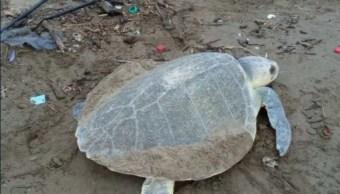 Desovan tres tortugas lora en Coatzacoalcos, Veracruz