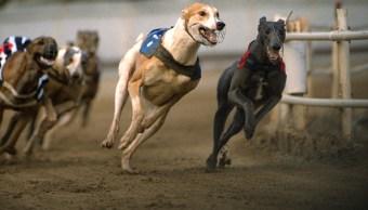 Británicos exigen que se detenga el sacrificio de perros galgos de carreras