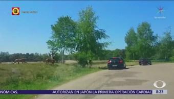 Guepardos acechan a familia tras bajarse de vehículo en safari de Holanda