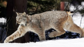 Lince Ontario Canadá Pareja Video Disputa
