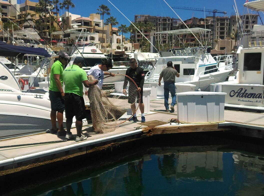 Lobo marino rescatado en Cabo San Lucas