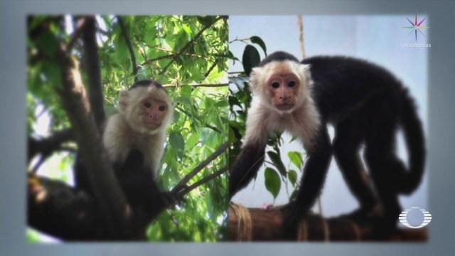 Mejora Salud Mono Capuchino Capturado Cdmx
