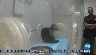 Mono Capuchino Las Lomas Sale Incubadora
