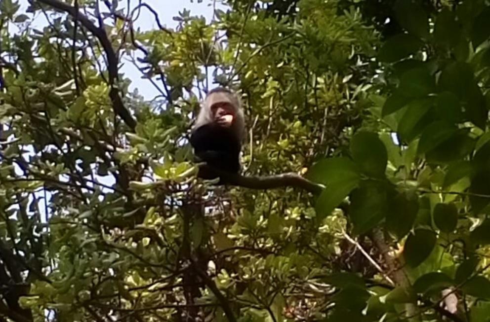 Sano, mono capuchino; sigue en cuarentena