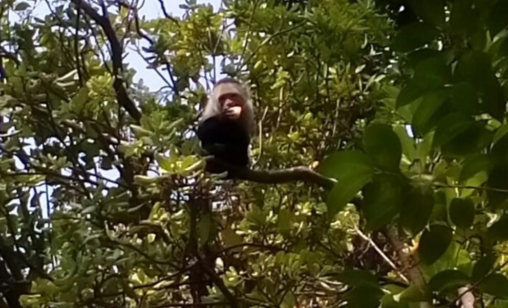 Mono capuchino de Las Lomas, clínicamente sano