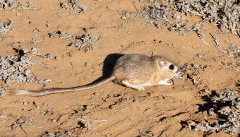 Redescubren rata canguro en zonas protegidas de Baja California