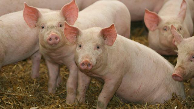 FOTO: Más de 100 cerdos mueren repentinamente en isla de Indonesa, el 22 de febrero de 2020