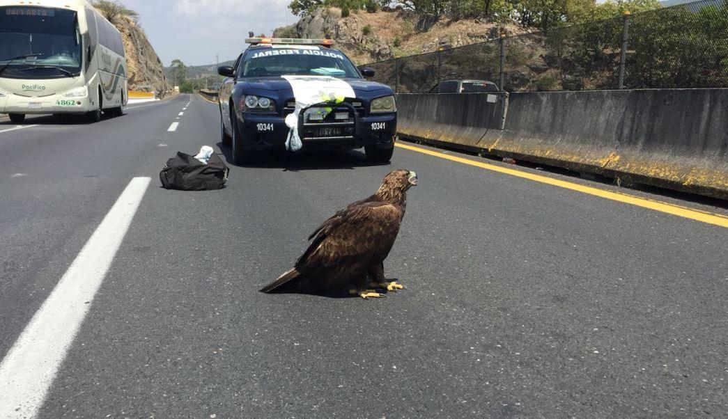 PF rescata un águila real en carretera de Nayarit