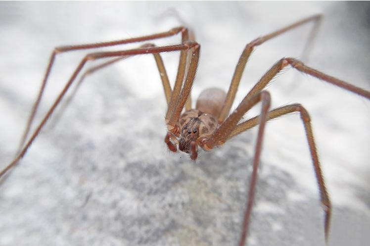 Analizan presencia araña violinista zona serrana Querétaro
