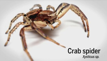 Arañas Cangrejo Producen Hilos Seda Volar