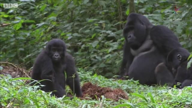 Crece Población Gorilas Países África Ecología