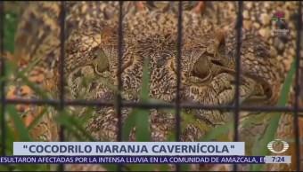 Descubren cocodrilos color naranja en Gabón